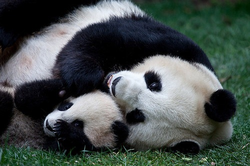 pandas-abracados