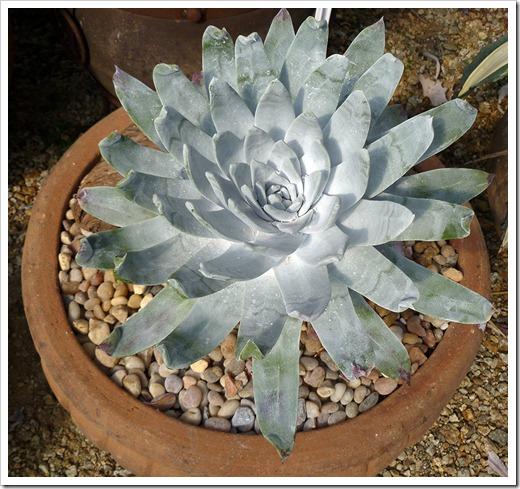111001_succulent_gardens_Dudleya_brittonii