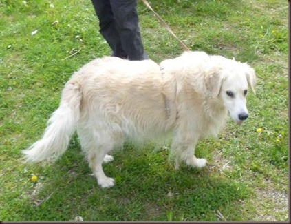Tommy Retriever Senior 2 (vorn)1
