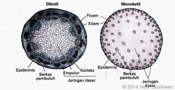 batang dikotil dan monokotil