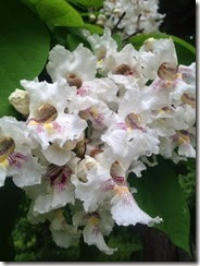 Catalpa in Bloom_thumb