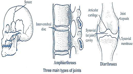 joint-types-bones