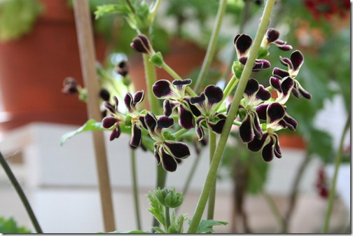hybrid P. x glauciifolium