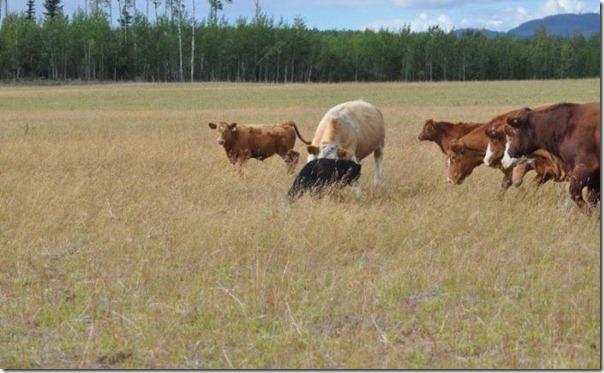 Vacas vs Urso (2)