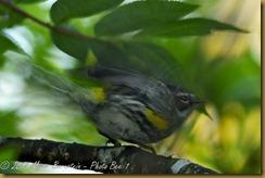Yellow Rumped-Warbler -blur