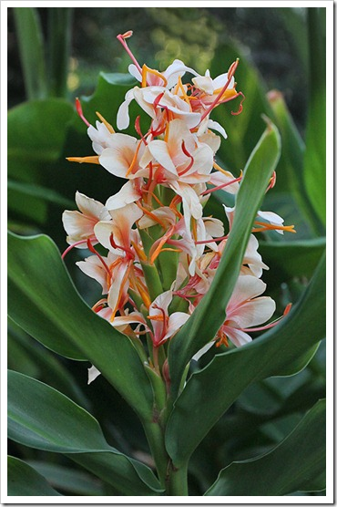 110915_hedychium-gardnerianum_04