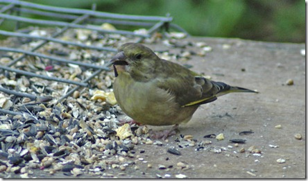 greenfinch 100
