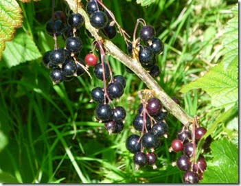 060714_blackcurrants_02
