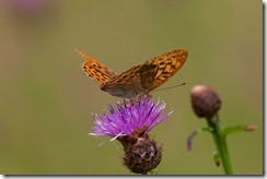 Silver-washed Fritillary-8D3E9041