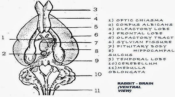mammal-brain