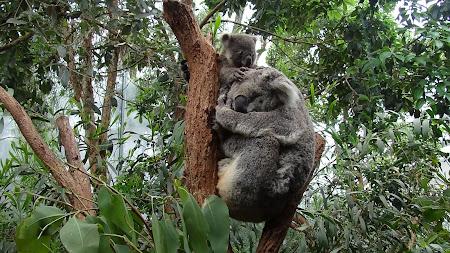 Fauna Australia: Koala in Sydney Wildlife