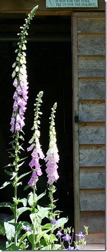 garden-foxgloves-in-doorway-june08