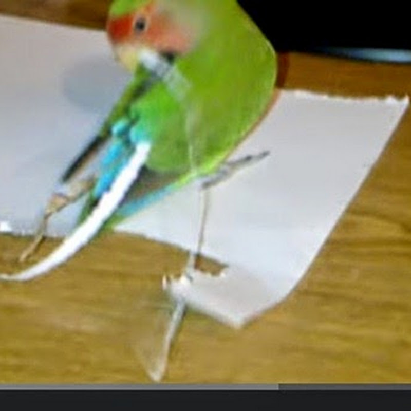 Lovebird φτιάχνει νέα ουρά