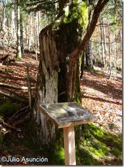 Tejo monumental de Auztegia - Selva de Irati
