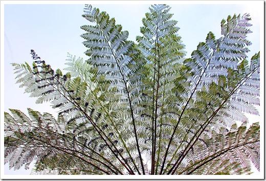 100104-Sarah-Island,-Tasmania,-tree-ferns_22