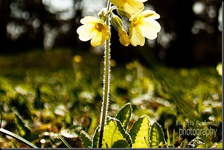 blom_20120424_gullviva1