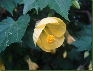 Abutilon, Yellow (3)