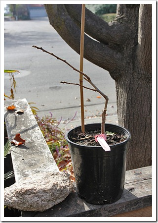 111210_Planting-Ginkgo-Majestic-Butterflies_002