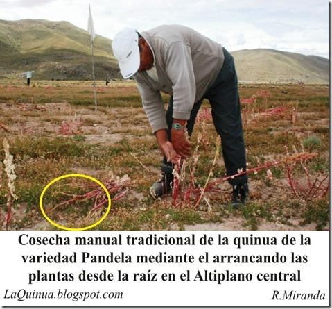 Cosecha manual tradicional de la Quinua