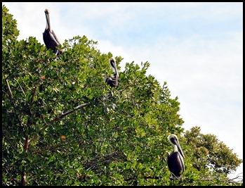 04a - 3 Pelicans