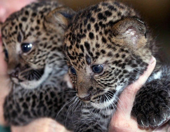 Leopard cubs are distracted