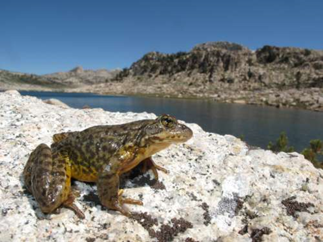 A Sierra Nevada yellow-legged frog (Rana sierrae) scans the landscape in Yosemite National Park. A 2013 USGS study confirmed that U.S. amphibian populations are declining at precipitous rates. Photo: Devin Edmonds / USGS