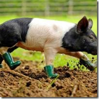 piglet-in-boots