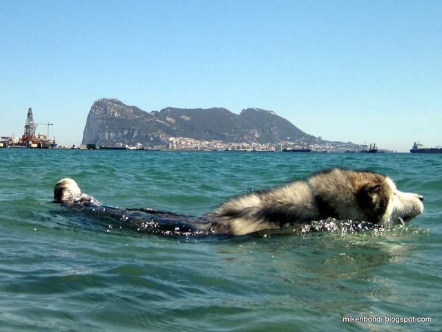 Malamute:Gibraltar - handy size comparison