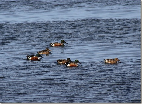 northern shoveler, duck