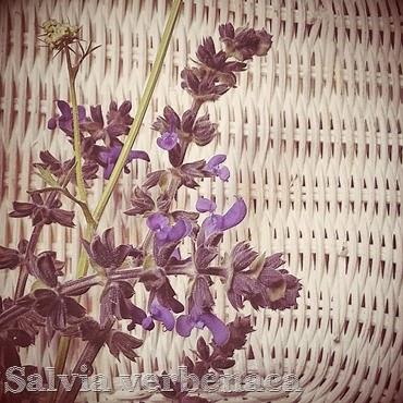 salvia verbenaca purple spring wild flower