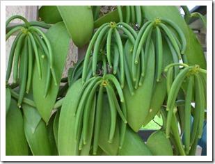 vanilla bean plant