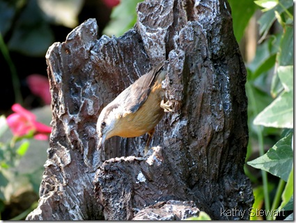 Nuthatch getting a drink