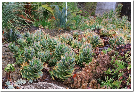 140208_RBG_Aloe-distans_002
