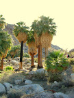 Joshua Tree Fortynine Palms Oasis<br /> less than one mile from Harmony(Photo by Bob Moore)