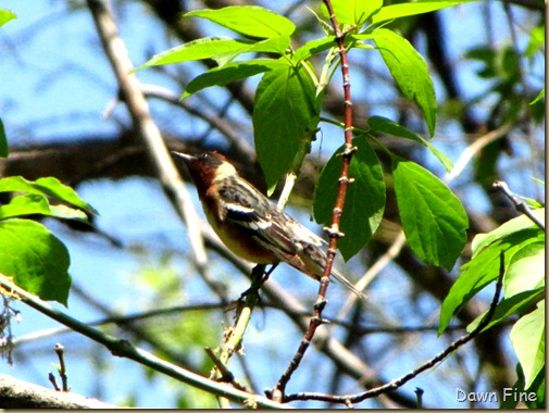 Bay-breasted Warbler (3)