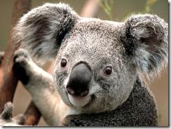 clickable Koala image