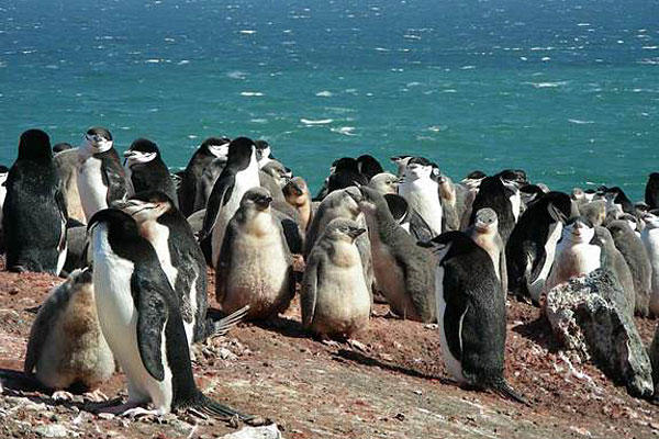 Named for the thin black band of feathers that extends from ear to ear under their heads, chinstrap penguins grow to about 2.2 feet (68 centimeters) tall, with males being larger and heavier than females. A population of chinstrap penguins in Antarctica has seen a 36 percent decline since 1991, in what researchers say is a consequence of declining krill populations. Andres Barbosa