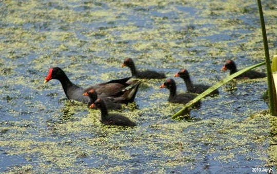 Amazing Pictures of Animals, Photo, Nature, Incredibel, Funny, Zoo, Common Moorhen, Gallinula chloropus, Aves, Alex (25)