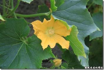 瓢瓜(瓠仔)的花朵