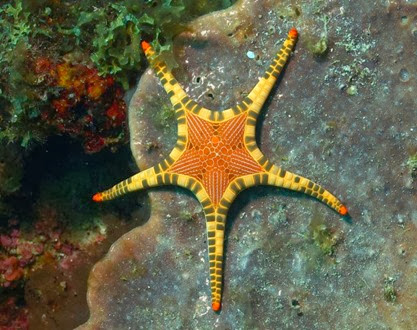 Amazing Pictures of Animals, Photo, Nature, Incredibel, Funny, Zoo, Starfish, Sea Stars, Asteroidea, Alex (3)