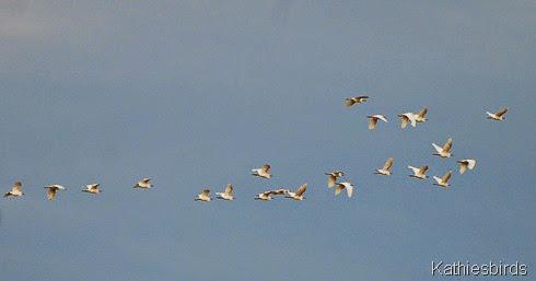 21. snowy egrets-kab