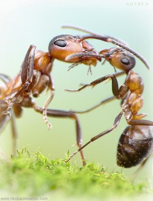 formigas inacreditaveis incriveis desbaratinando  (62)