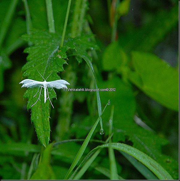 makkarakoski perhonen 052