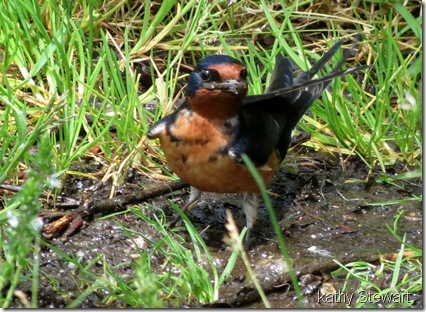Barn Swallow gathering nesting material