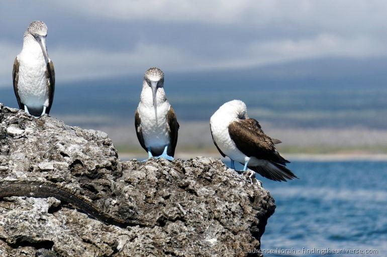 Blaufußtölpel, Galapagos