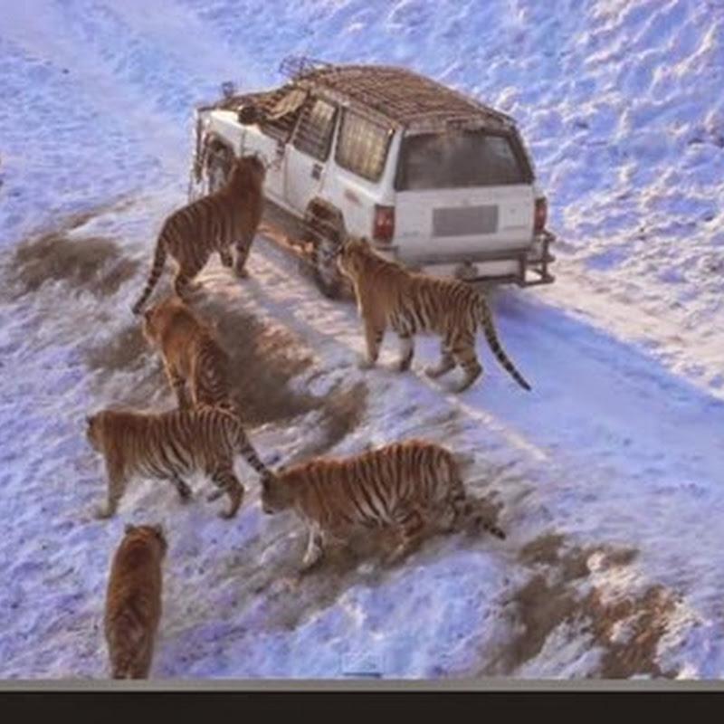 Άλματα τίγρη