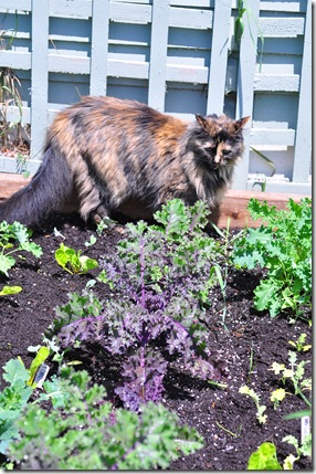 kale cat 1