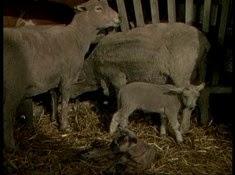 08 les moutons