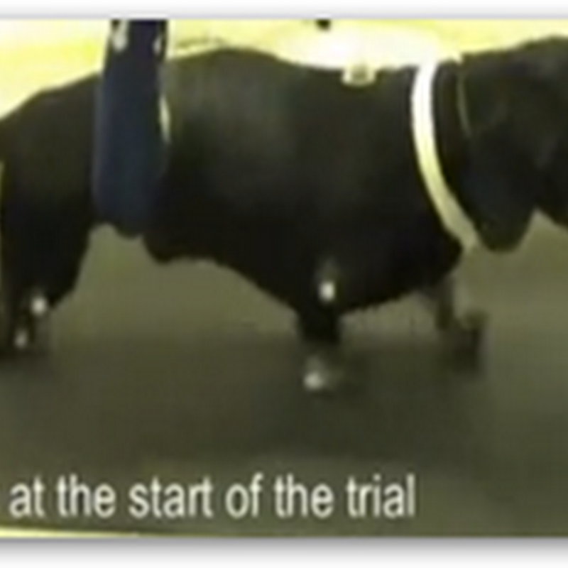 Stem Cell Transplant For Paralyzed Dachshund Enables Him To Walk Again–Hope for Humans (Video)