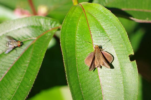 Hesperiidae : Cobalopsis sp. (?). Patawa (Montagne de Kaw), 24 octobre 2012. Photo : J.-M. Gayman